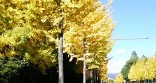 東大路のイチョウ並木