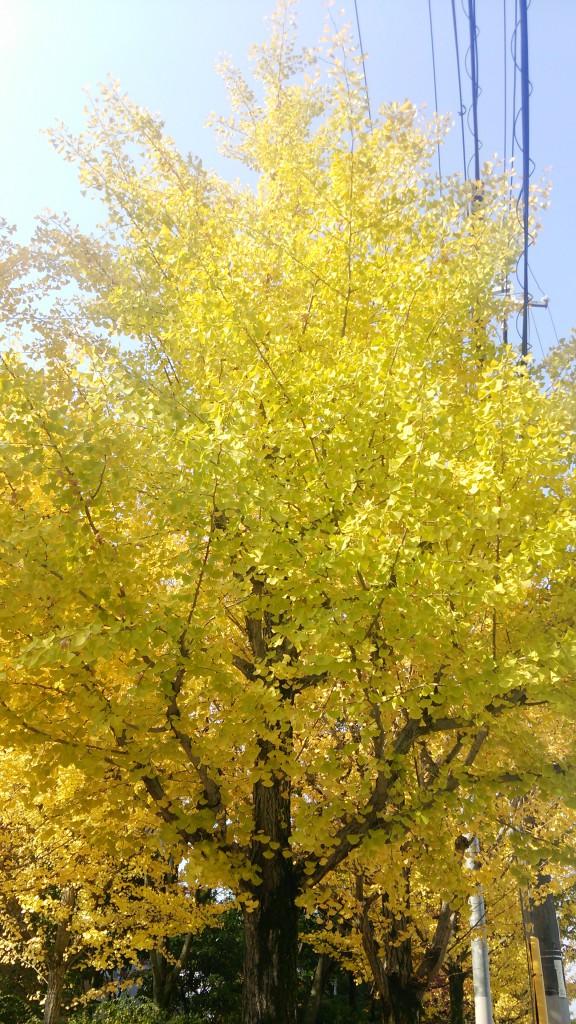 黄色に色づいたイチョウ