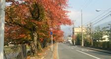 川端通りの桜並木